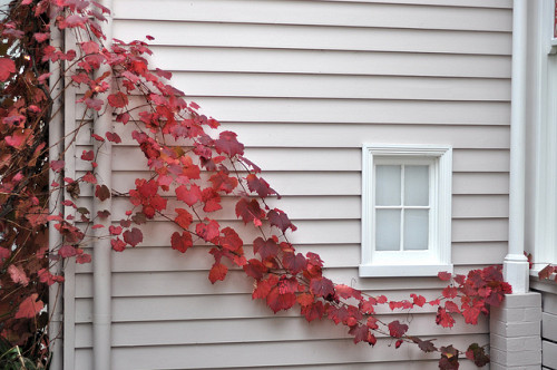 Photo of Virginia Creeper by Chris_Samuel/Flickr.