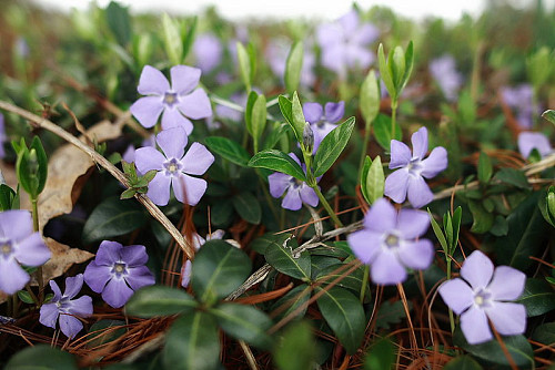 Vinca, also known as periwinkel vine. Photo by Forestwander Nature Photography/Wikimedia Commons.